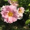 ゾンマーモルゲン 鉢バラ 今年は雨が少ないから葉っぱがきれい