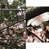 一週間前のこと.鎌倉八幡宮を通っての帰路.小袋谷方面の出口に向かう途中,そろそろ散りかけている花木を発見.拡大してみると,やはり桜でした.早咲きの桜は,何種類かあるようですが---.写真の解像度が悪く,特定は困難.寒桜?寒咲大島?