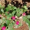 ターサイと綿の花を植えた