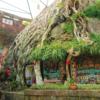 【プチ仙郷】四川省楽至報国寺の「樹抱仏」