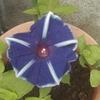 毎年咲いてくる我が家のアサガオ