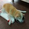 足の立たない老犬の食事用の台