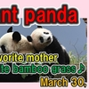 ジャイアントパンダの「落ちる♪」「転がる♪」を集めた動画が超絶かわいくて面白い!