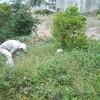 首里ワイワイ農園のサツマイモ収穫