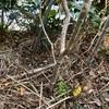 サルスベリ白花定植