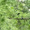 ハシボソガラス幼鳥
