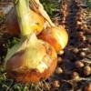 タマネギの栽培③収穫