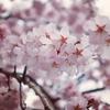 新宿御苑で桜を見てきた