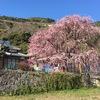 熊本市松尾の枝垂れ梅