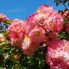 岐阜県【花フェスタ記念公園】インスタ映え!圧倒的なバラの花園、花の楽園。