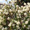 近所の桜、満開予報出ました🌸