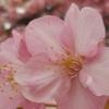 河津桜 in 平井