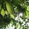 陽の光と新緑のブナ。