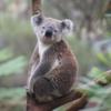 【無料】オーストラリアの大自然でコアラとカンガルーがみれるスポット