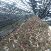 挿し木 新樹種 サルココッカ