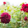 バラは咲き始めレイクガーデン:雨の軽井沢