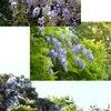 フジ1 藤の花が山を彩っていました.古事記には「藤のツルで作った衣・袴・靴・弓」が藤の花になる,というお話があるそうです.万葉集には藤の花を詠んだ歌は26首. 平安期にも藤の花は描かれ続けます.フジ / 万葉集  こいしけば,かたみにせむと,わがやどに,うゑしふじなみ,いまさきにけり  山部赤人