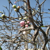 【出来事】庭の花桃のつぼみ