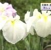 天草市の公園 約25万株の花しょうぶ