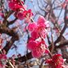 光琳の梅と雛祭りの日。