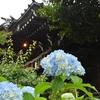 ✿白山神社 昨日のアジサイ