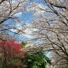 🌸桜並木🌸