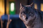 旭山動物園の夜間開園イベント、雪あかりの動物園に今年も行ってきた!