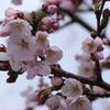 """高山市内の桜""来週が見頃!!"