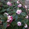 早春の花 梅と水仙と沈丁花