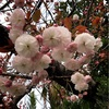 八重桜の可愛らしさ
