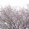 紫木蓮開花