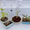 旅の間の盆栽たちは、水に浸かってお留守番