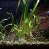 レッドラインラスボラ Trigonopoma pauciperforatum