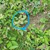 スズメバチが集まってくるヤブガラシという植物を知っていますか?