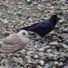 知床のカラス:Crows in Shiretoko