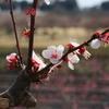 【梅まつり2017】水戸の偕楽園に行って、梅を見てきた