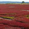 網走のサンゴ草群生地