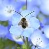 ネモフィラ(花)の花壇の訪問者