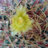 フェロカクタス・鯱頭の花