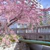 京都・洛中 - 一条戻橋の河津桜