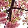 日本で一番最初に咲く桜✿