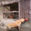 山から畑に着いたらジイチャンがゴールデンレトリバー3頭をお出迎え。