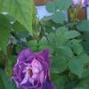 青系のバラ、ブルーフォーユー開花!