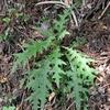ヒュウガアザミ  鰐塚山の花