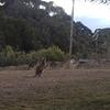 野生のカンガルーに出会える大学