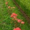 畦を彩る鮮烈な赤 彼岸花♪