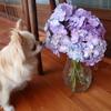 お手伝いと紫陽花と