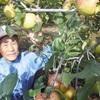 「幻の果物」厚木リンゴPR本格化…弁当も考案