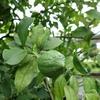 レモンと庭仕事