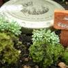 この夏、我が家の庭では 苔 と 多肉植物 が増えてきています。苔と多肉植物とジャムの蓋でミニチュアサイズの「なかよしガーデン」なるものを作ってみました。